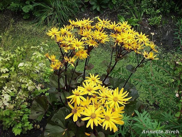 staude med gule blomster